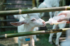 Fütterung einer Ziege Stockfoto