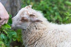 Fütterung eines Lamms Stockbild