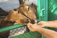Fütterung eines Rotwilds Lizenzfreies Stockfoto