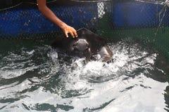 Fütterung eines Strahlnfisches Lizenzfreies Stockfoto