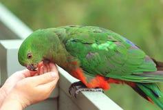 Fütterung von König Parrot Stockfotos