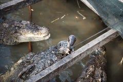 Fütterungs-Zeit für Crocs Lizenzfreie Stockbilder