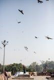 Fütterungsadler des Mannes in Delhi Stockbilder