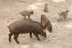 Fütterungsaffen und Schweine am Tempel Wat Trai Rattanaram Stockbilder