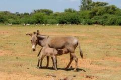 Fütterungsbaby der Eselmutter an der Ackerlandlandschaft Lizenzfreie Stockfotografie