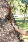 Fütterungseichhörnchen des Mädchens Lizenzfreies Stockbild