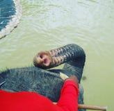 Fütterungselefant lizenzfreie stockbilder