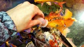 Fütterungsfische im Aquarium stock footage
