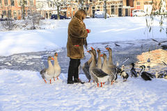 Fütterungsgänse im Winter Stockfotos