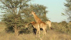 Fütterungsgiraffen stock video footage