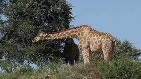 Fütterungsgiraffen stock video