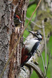 Fütterungsjunge des Buntspechts (Dendrocopos Major) Stockbilder