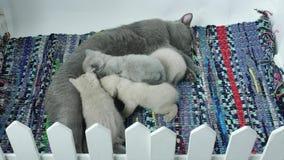 Fütterungskätzchen der Mutterkatze stock video