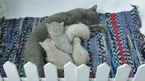 Fütterungskätzchen der Mutterkatze stock video footage