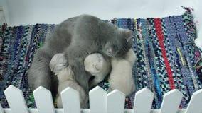Fütterungskätzchen der Mutterkatze stock footage