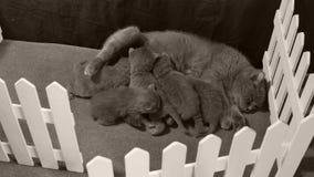 Fütterungskätzchen der Mutterkatze, weißer Zaun stock video