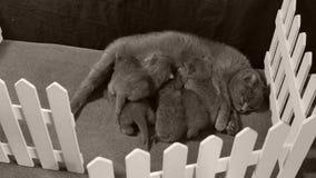 Fütterungskätzchen der Mutterkatze, weißer Zaun stock footage