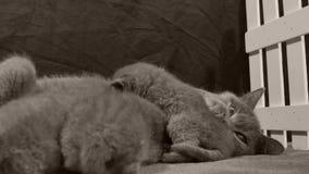 Fütterungskätzchen der Mutterkatze, weißer Zaun stock video footage