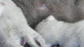 Fütterungskätzchen der Mutterkatze, weißer Zaun, Großaufnahme stock footage