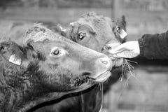 Fütterungskühe Lizenzfreie Stockfotos