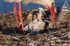 Fütterungsküken des weißen Storchs Stockfoto