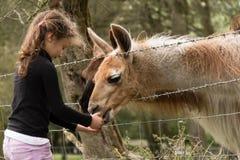 Fütterungskarotte des jungen Mädchens zu den Lamas auf einem Gebiet Lizenzfreie Stockbilder