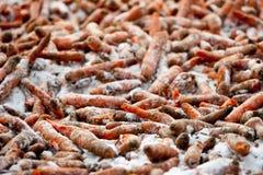 Fütterungskarotten-Winter Stockfoto