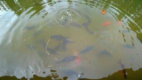 Fütterungskarpfen mit Brot im Teich der Stadt parken Bewegung vieler kleine Fische unter Wasser stock video