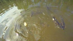 Fütterungskarpfen mit Brot im Teich der Stadt parken Bewegung vieler kleine Fische unter Wasser stock video footage