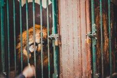 Fütterungslöwe des Mannes im Käfig Lizenzfreies Stockbild