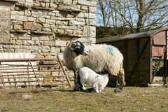 Fütterungslamm der Schafe Lizenzfreie Stockfotos