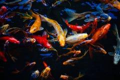 Fütterungsraserei des dekorativen koi fischen in einem Teich lizenzfreie stockfotos