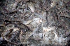 Fütterungsraserei von Fischen Lizenzfreie Stockfotos