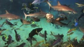 Fütterungsshow des Unterwasseratemgeräthaifischs Die Taucher, Haifische stock video