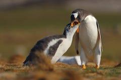 Fütterungsszene Beging Lebensmittel jungen gentoo Pinguins neben erwachsenem gentoo Pinguin, Falkland Islands Pinguine im Gras Ju Stockfotografie