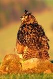 Fütterungsvogel mit Lebensmittel Eurasier Eagle Owl, Vogel, der auf dem Stein in der Wiese mit Fangigelem sitzt Schöne seltene Eu Stockfotos