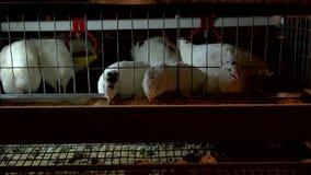 Fütterungswachteln auf dem Bauernhof stock video