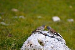 Fütterungszeit für zwei Vögel Stockbild
