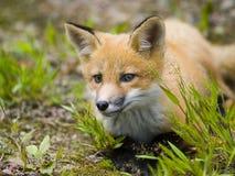 f狐狸哺乳动物的红色 库存照片