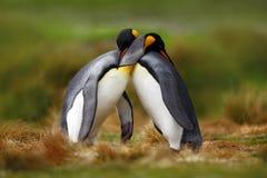 动物爱 拥抱企鹅国王的夫妇,狂放的自然,绿色背景 做爱的两只企鹅 在草 野生生物场面f 免版税图库摄影