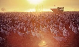 fågelflyttning Arkivfoton