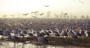 fågelflyttning Arkivbild
