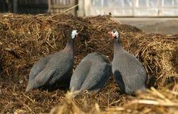fågelguinea Arkivbild