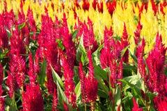 färgrik trädgård för cockscomb Royaltyfri Foto