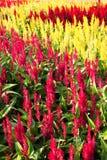färgrik trädgård för cockscomb Arkivbilder