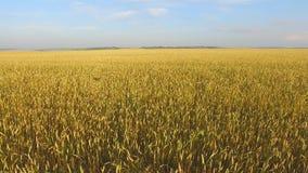 F een gebied van tarwe een gebied van tarwe stock video