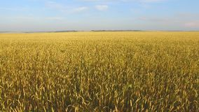 a f a field of wheat a field of wheat stock video