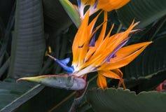 F?gel f?r reginae f?r Strelitzia orange och bl?, av paradisblomman royaltyfri fotografi