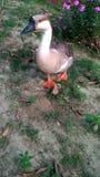 F?geldjur en gemensam fågel som bor på eller nära vatten Änder har korta ben, special simhudsförsedd fot för att simma och en bre fotografering för bildbyråer