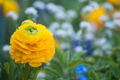 F gele pioen in stedelijk park royalty-vrije stock foto's